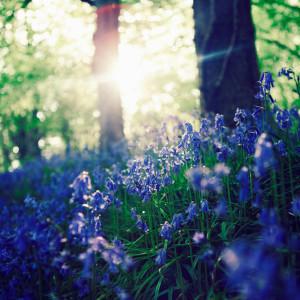 bluebells_by_garethhh-d4psxrf